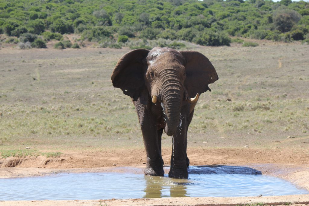 Elephant in Addo